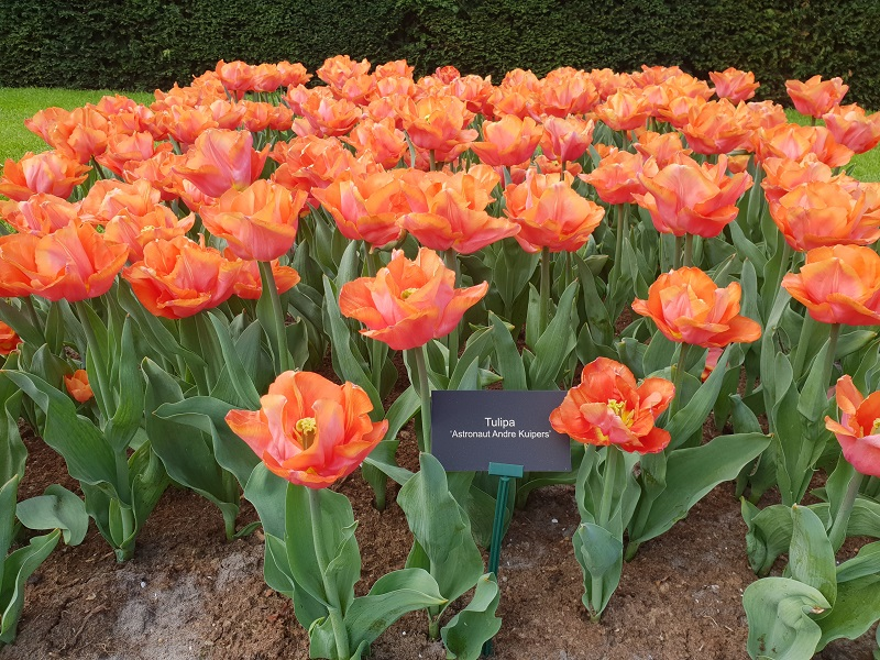 Andre Kuipers Tulp