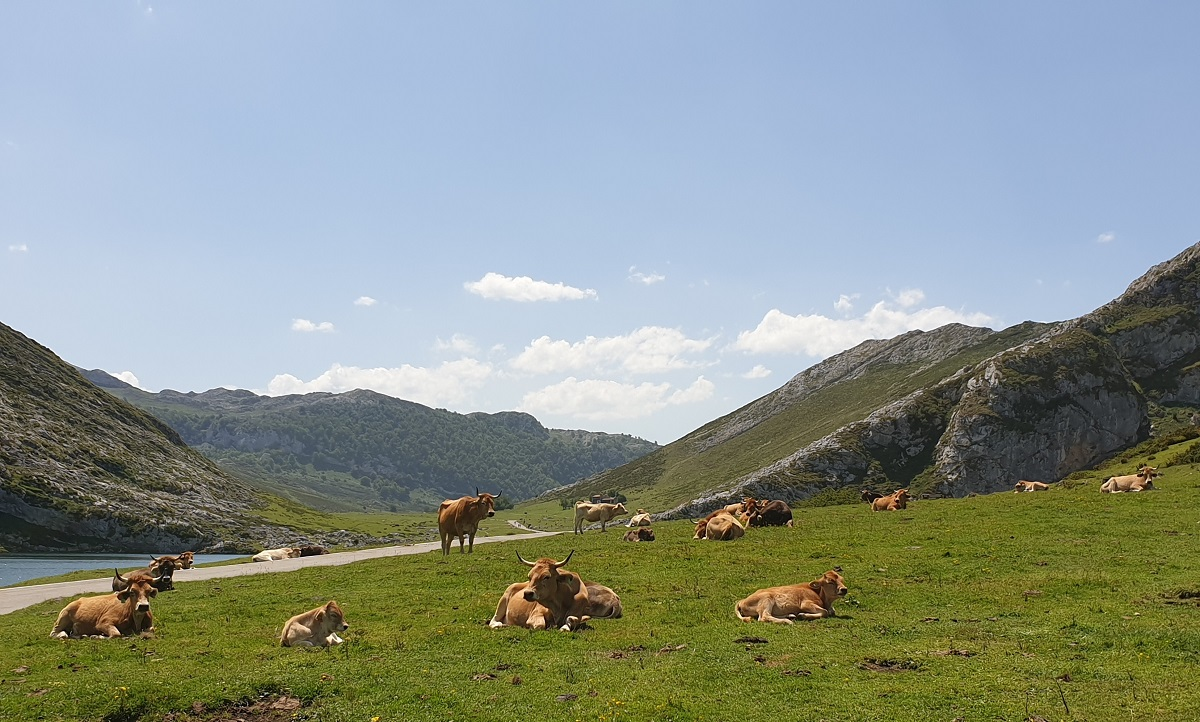 Koeien_Picos de Europa_Covadonga
