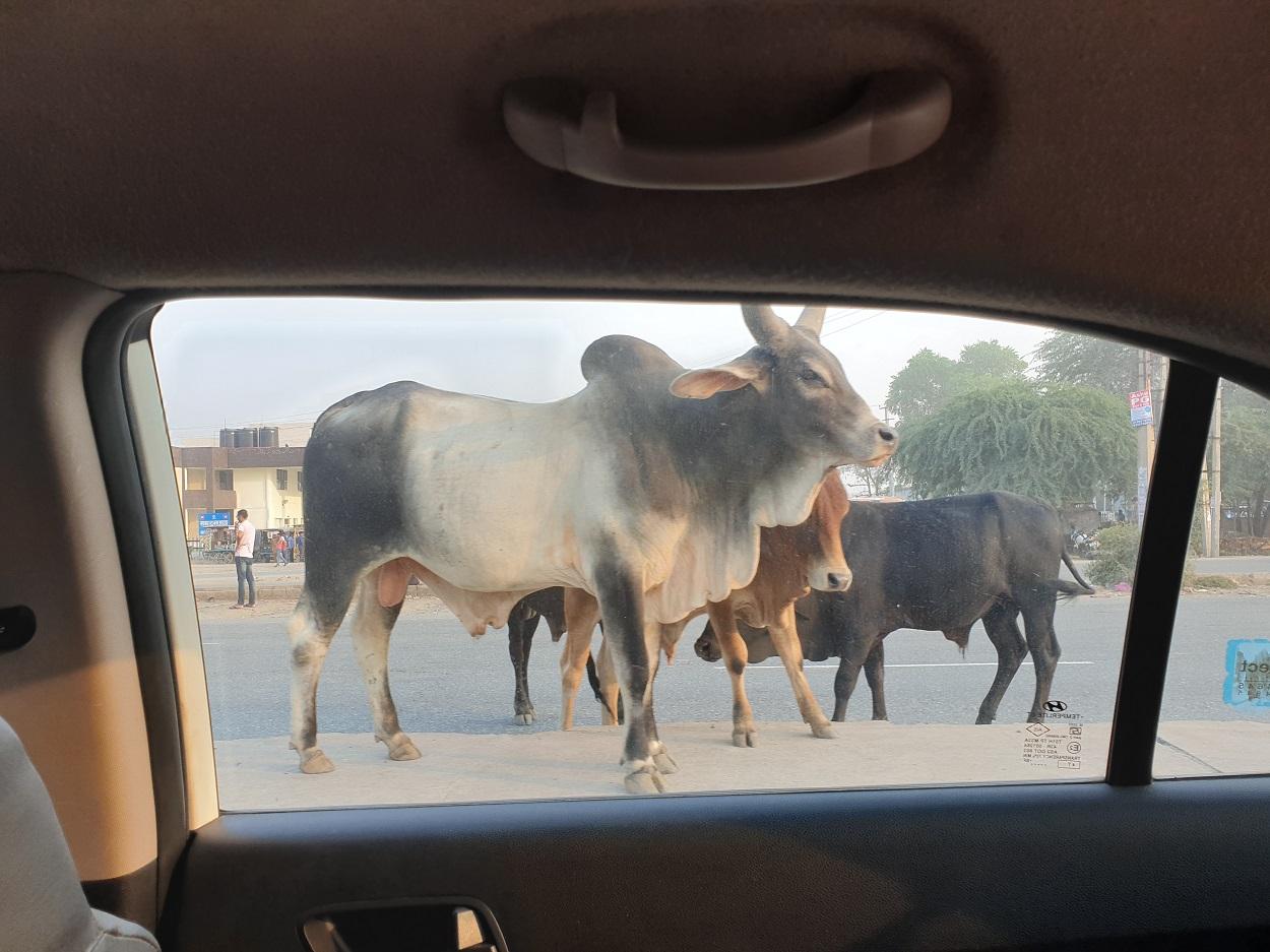 Koeien op de weg_India