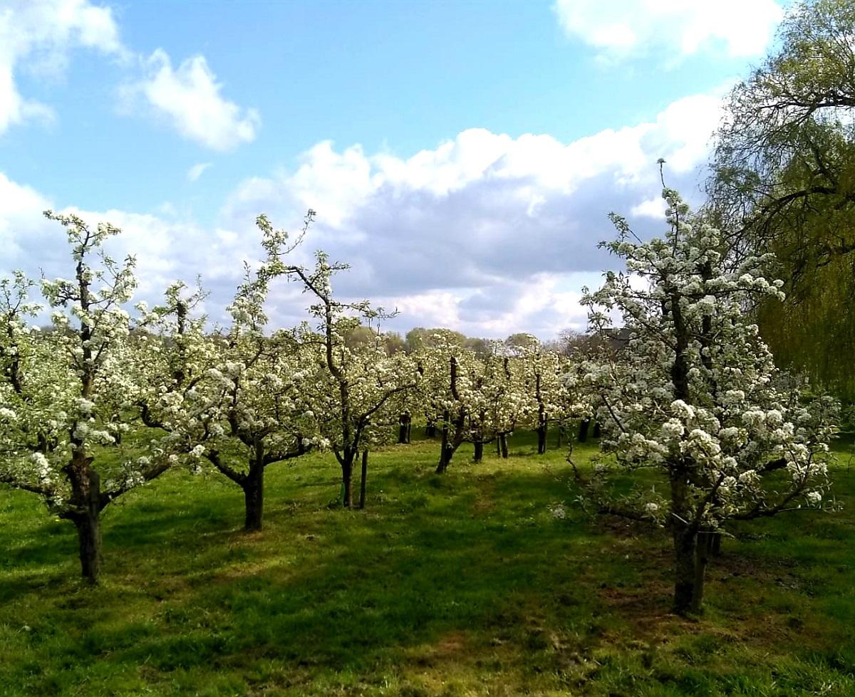 Fruitbomen_Linge_uitjes_Zuid Holland