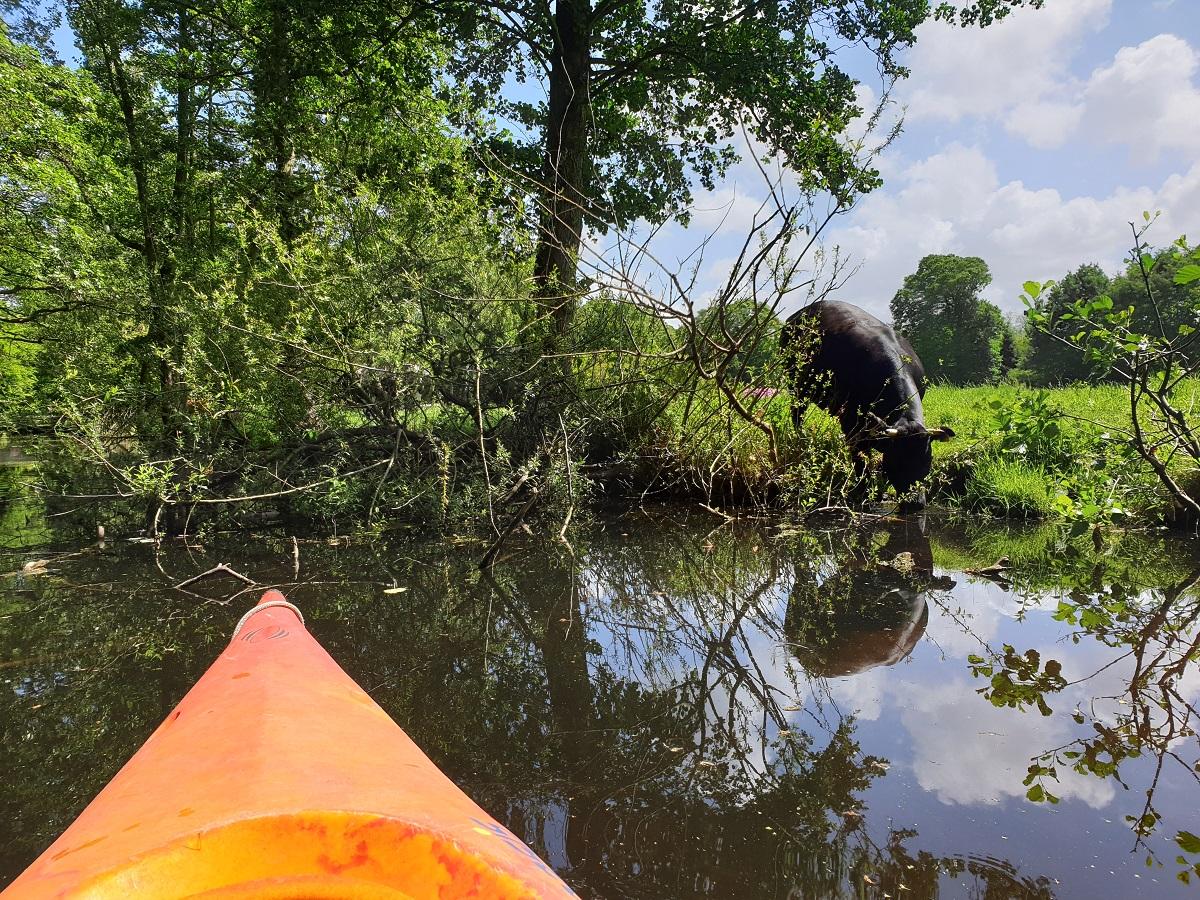Koe_waterkant_Clingendael_uitjes_Zuid_Holland