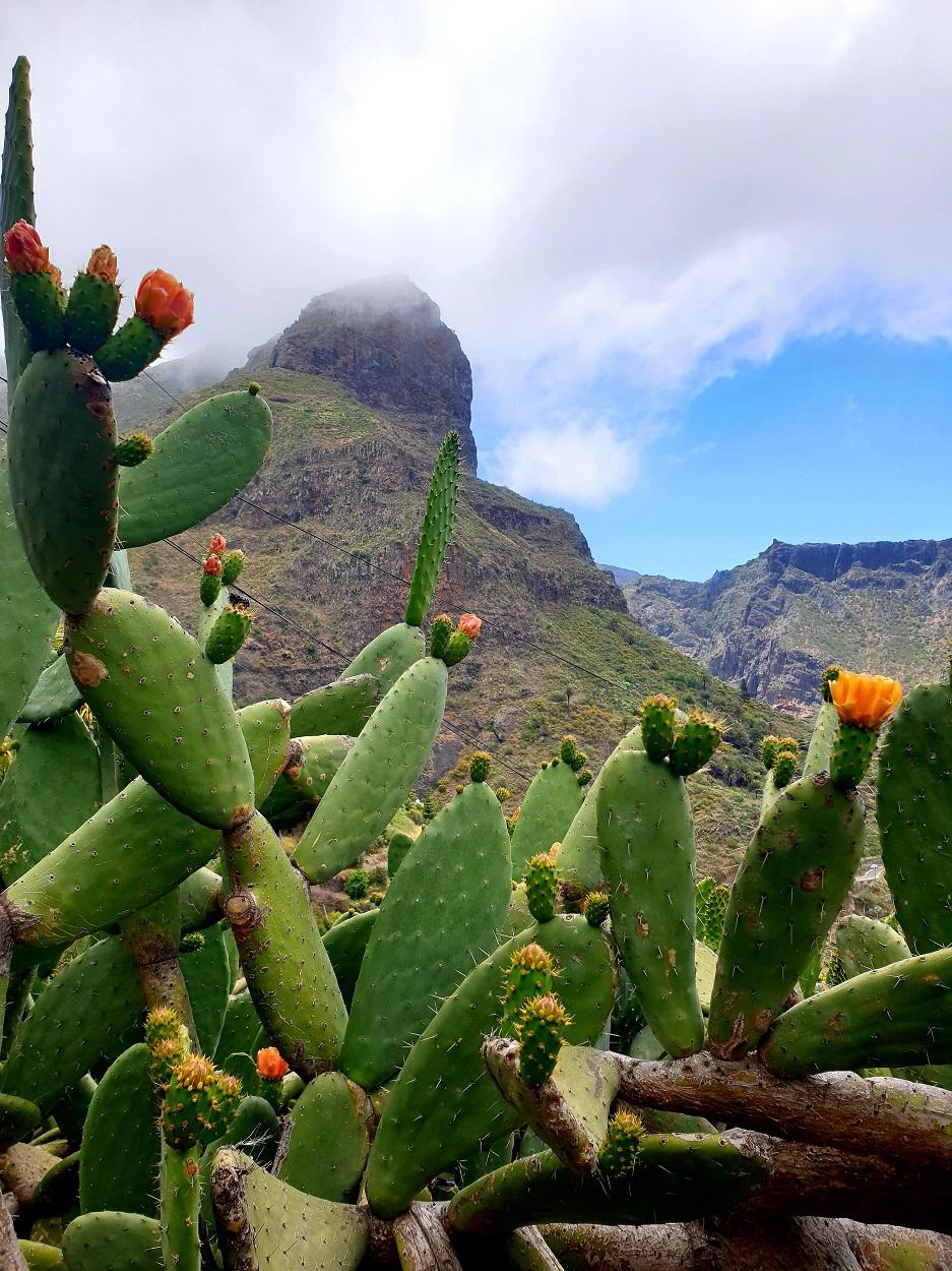 Tenerife_Masca_cactus